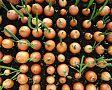 Moření česneku, cibule, sadbových brambor a jiných semen