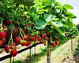 Jak pěstovat jahody na zahradě, v květináči a na paletách