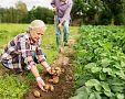 Jak pěstovat a hnojit brambory? Sázení brambor, zavlažování