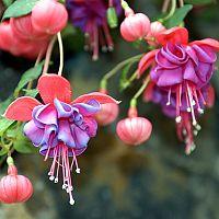 Fuchsie vzpřímená (stromková) a převislá – pěstování