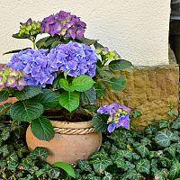 Jak pěstovat hortenzii