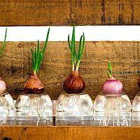 Hydroponie: jaké výhody má toto pěstování? Jaké pomůcky jsou třeba?