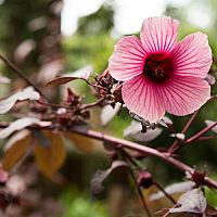 Ibišek – přesazení, rozmnožování, stříhání a hnojení