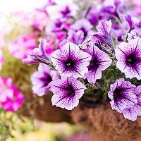 Petúnie – pěstování, přesazení, zalévání, rozmnožování