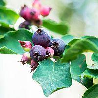 Muchovník – odrůdy, rozmnožování, řez a přesazení