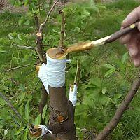Štěpení ovocných stromů – očkování, roubení, plátkování