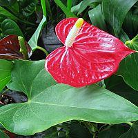 Toulitka – rozmnožování, zalévání a hnojení