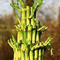 Jak pěstovat bambus štěstí