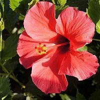 Jak pěstovat a rozmnožovat čínskou růži