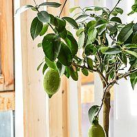 Jak pěstovat citronovník?