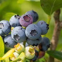 Jak pěstovat borůvku