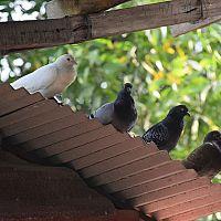 Jak se zbavit holubů na střeše a na balkonu