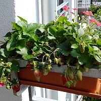 Jak pěstovat jahody na balkoně
