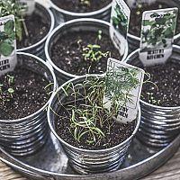 Jak pěstovat bylinky v květináči