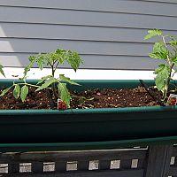 Jak vypěstovat rajčata na balkoně