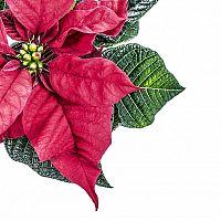 Jak se starat o vánoční růži?