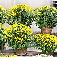 Pěstování chryzantémy. Jak rozmnožovat, zalévat a přesazovat