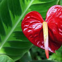 Červený kvet Antúrie
