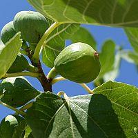 Figovník so zelenými figami