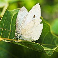 Bělásek zelný – jaký postřik funguje na housenky a motýly?