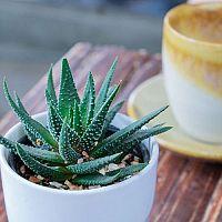 Pěstování Aloe Vera ze semínka – substrát, choroby, zalévání