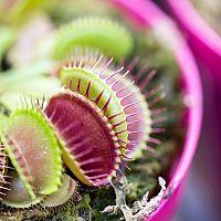 Jak doma pěstovat masožravé rostliny?