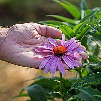 Echinacea – pěstování a ošetřování. Její účinky jsou neocenitelné