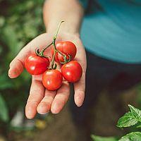 Pěstování rajčat – sázení, zalévání, choroby a škůdci