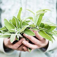 Šalvěj lékařská – pěstování v bytě v květináči, sběr, druhy