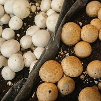 Jak pěstovat houby doma v květináči, na dřevě, na zahradě a ve sklepě