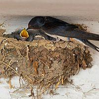 Jak zaplašit vlaštovky a zabránit jim stavět hnízda. Hroty proti vlaštovkám jako nejlepší zábrany