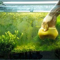 Jak vyčistit akvárium od řas – černá řasa, zelená řasa, žabí vlas. Jak si s nimi poradit?