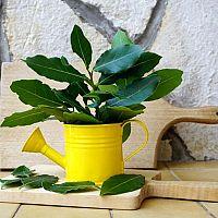 Bobkový list – pěstování. Kdy stříhat vavřín? Čerstvý a drcený bobkový list proti hmyzu, pod polštář