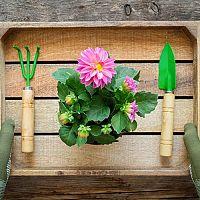 Jiřiny(dálie) – pěstování ze semena v květináči i na zahradě. Hnojení, zaštipování