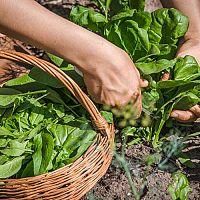 Jak pěstovat špenát v zimě, na jaře, na podzim, v květináči a na zahradě?