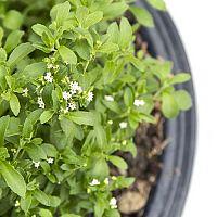 Jak si doma pěstovat stévii? Pěstování ze semen je možné i v květináči