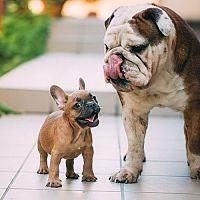 Pes do bytu. Jaká jsou nejlepší malá plemena psů?