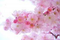 Tištěný obraz - Třešně