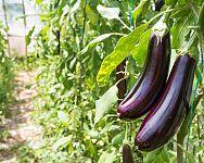 Baklažán – sázení a pěstování ze semene i v květináči