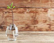 Jak vypěstovat avokádo doma v květináči? Pěstování z kostky je možné i v zimě