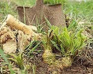 Jak pěstovat křen? Vysazení, ošetřování, sběr, uskladnění