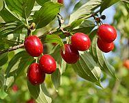 Jak pěstovat dřínku (dřín obecný) – rozmnožování, vysazení, odrůdy