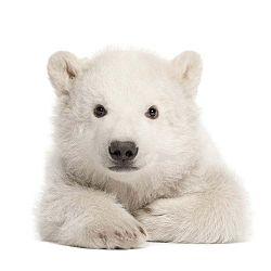 Nástěnná samolepka Dekornik Polar Bear
