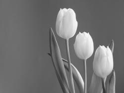 Obraz na zeď Roxy - Tulips 40x30 cm