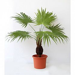 Umělá Palma s kokosovým kmenem v květináči, 60 cm