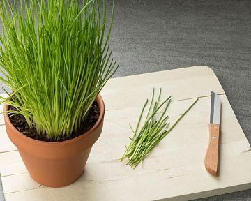 Jak pěstovat pažitku? Sázení, zalévání, uskladnění