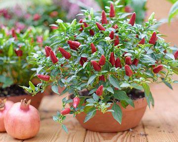 Pěstování chilli papriček v květináči v bytě, domě, na zahradě