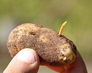 Jak se zbavit háďátka bramborového? Přípravky proti drátovcům, které fungují