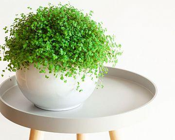 Domácí štěstí (Soleirolia) – Pěstování, zalévání.