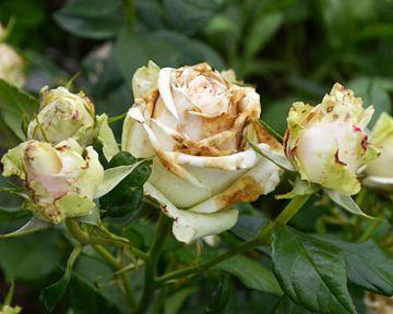 Škůdci a choroby růží: Padlí, rez růžová, černá skvrnitost, mšice, pilatky